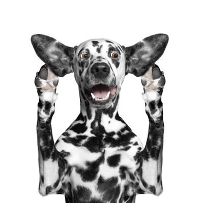 両耳を広げて驚いた表情をする犬