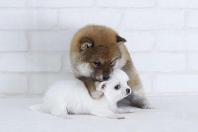 じゃれ合う柴犬とチワワ