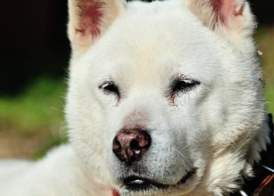 紀州犬の顔アップ 247676894