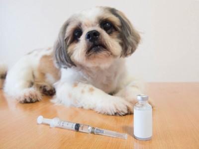 シーズーの前に置かれた注射器と薬剤