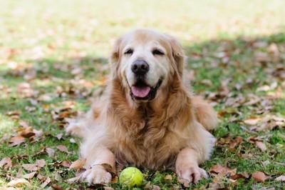 落ち葉の上に伏せる老犬