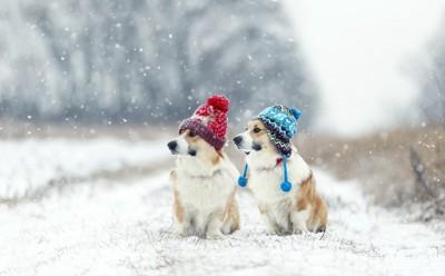雪の中に佇むコーギーたち