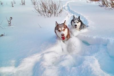 雪に埋もれるシベリアンハスキー