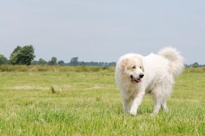 草原で歩いているグレートピレニーズ