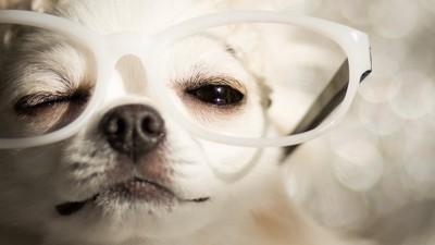 ウインクをするメガネをかけたチワワ