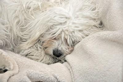 毛布の上で寝る老犬
