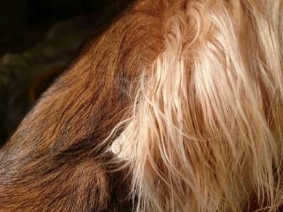 犬の耳の毛玉