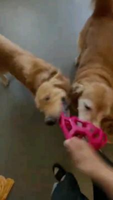 オモチャ咥える二匹の犬
