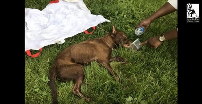 寝たまま水を飲む犬