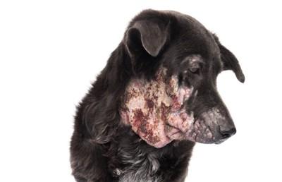 顔の皮膚が荒れた黒い犬