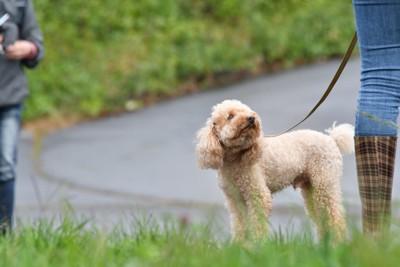 散歩トレーニング中の犬