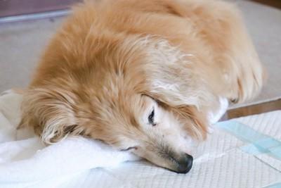 ペットシーツの上で寝るダックス