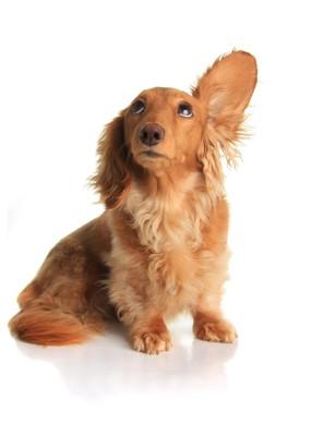 耳を広げて音を聴く犬