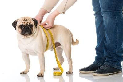 ウエストを測る犬