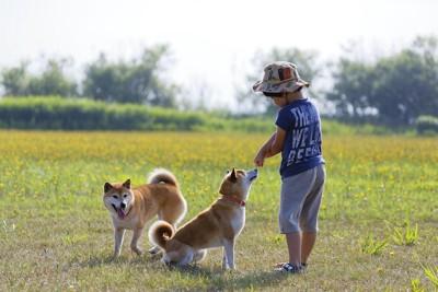 屋外で2匹の柴犬と遊ぶ男の子