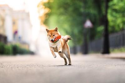 おもちゃをくわえて走る柴犬