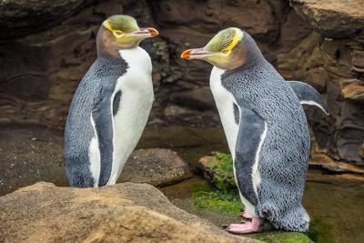 ダニーデンのイエローアイドペンギン