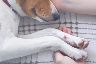 女性の手で頭と前足を支えられる犬