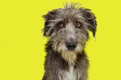 悲しげな顔のワイヤーヘアーの犬