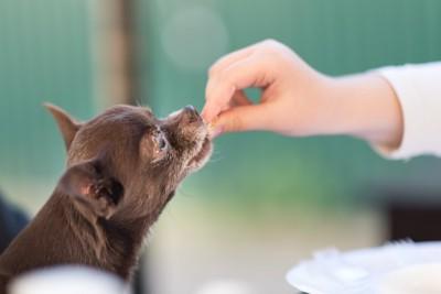 飼い主の手からオヤツを食べる犬