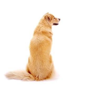 背を向けてオスワリをする大型犬