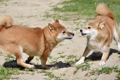 威嚇し合うノーリードの2匹の犬