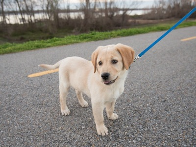 リードをつけたラブラドールの子犬