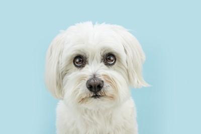 上目遣いでジッと見つめる白い犬、水色の背景
