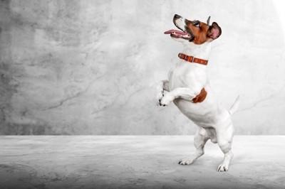 上を見つめながら立ち上がる犬