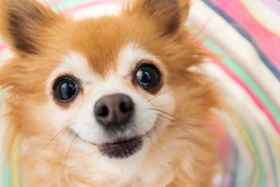 笑顔で見つめるチワワ