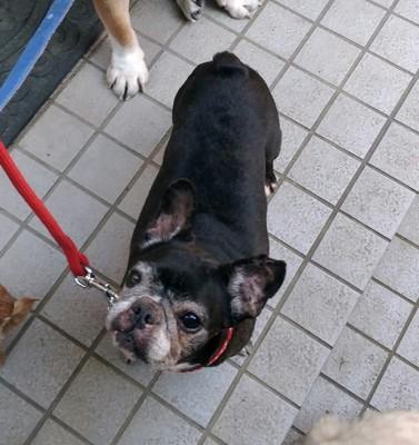 我が家の愛犬「チョビ」