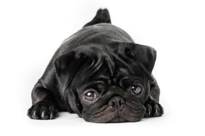 悲しげな表情のパグ