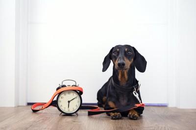 リードをつけて時計の隣で待っているダックスフンド