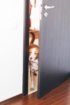 開いたドアから覗いている犬