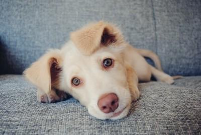 ソファーに寝転ぶ子犬
