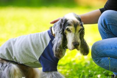 飼い主に撫でられているTシャツを着た老犬
