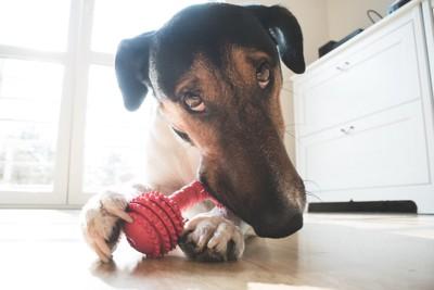 前足でおもちゃを押さえる犬
