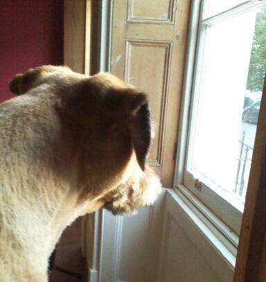 外を眺める犬