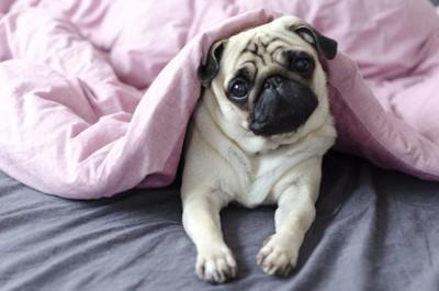 ピンクの布団の中で首をかしげるパグ