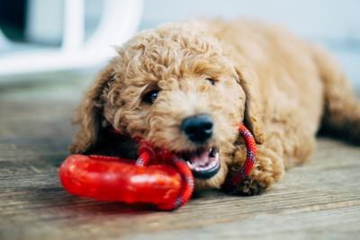 赤いおもちゃを噛んでいるトイプード