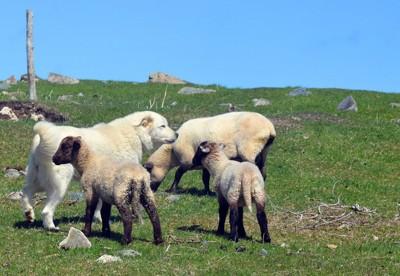 羊とグレートピレニーズ