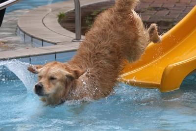 滑り台から水に飛び込む大型犬