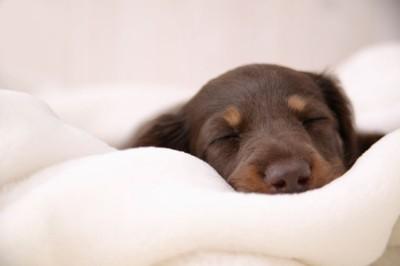 ダックスフンドの寝顔