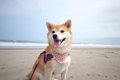 砂浜でお座りをする柴犬