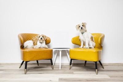 椅子の上で伏せている犬と座っている犬