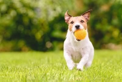 ボールで遊ぶ犬