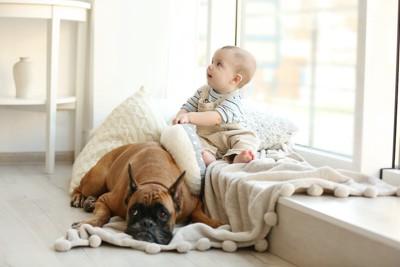 赤ちゃんの前で寛ぐボクサー犬