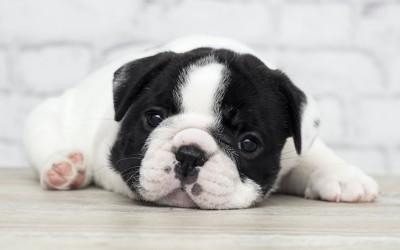 床に伏せてこちらを見つめる子犬