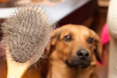 犬とブラシについた抜け毛
