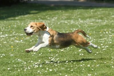 芝生の上を走り回る犬
